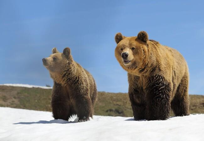 Die Bären Amelia und Meimo erkunden die Aussenanlage des Arosa Bärenlands