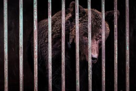 Brown bear used for fighting, behind bars in Ukraine
