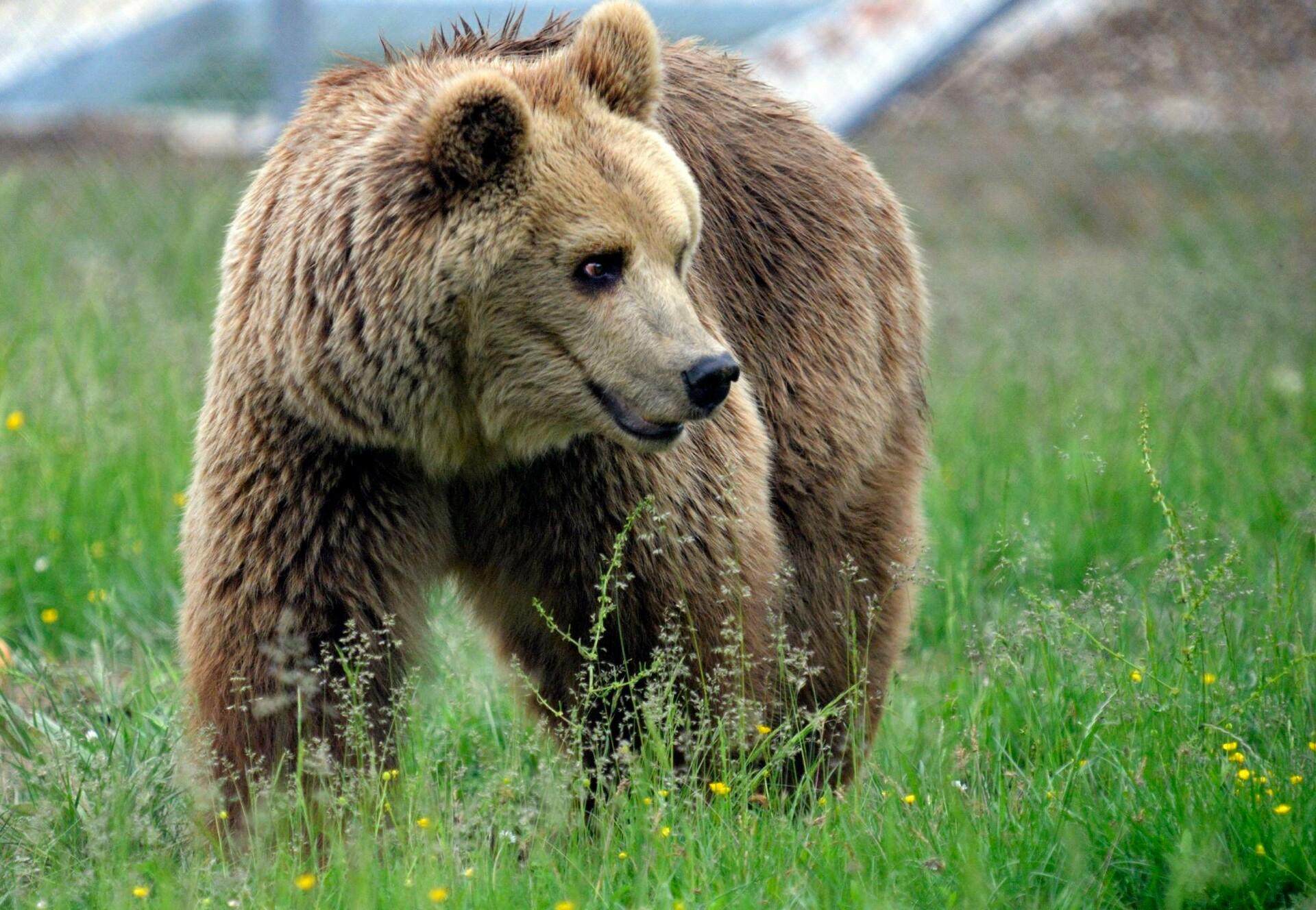 Brown Bear Rina in the grass