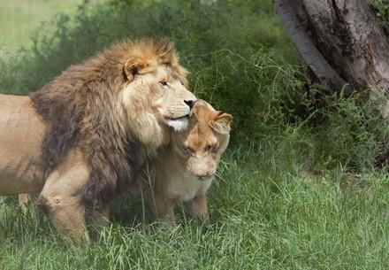 Leeuwen in LIONSROCK