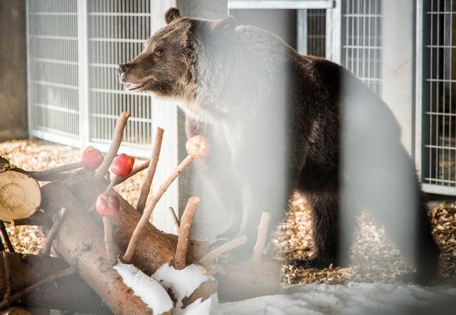 Bärin Jambolina im Arosa Bärenland