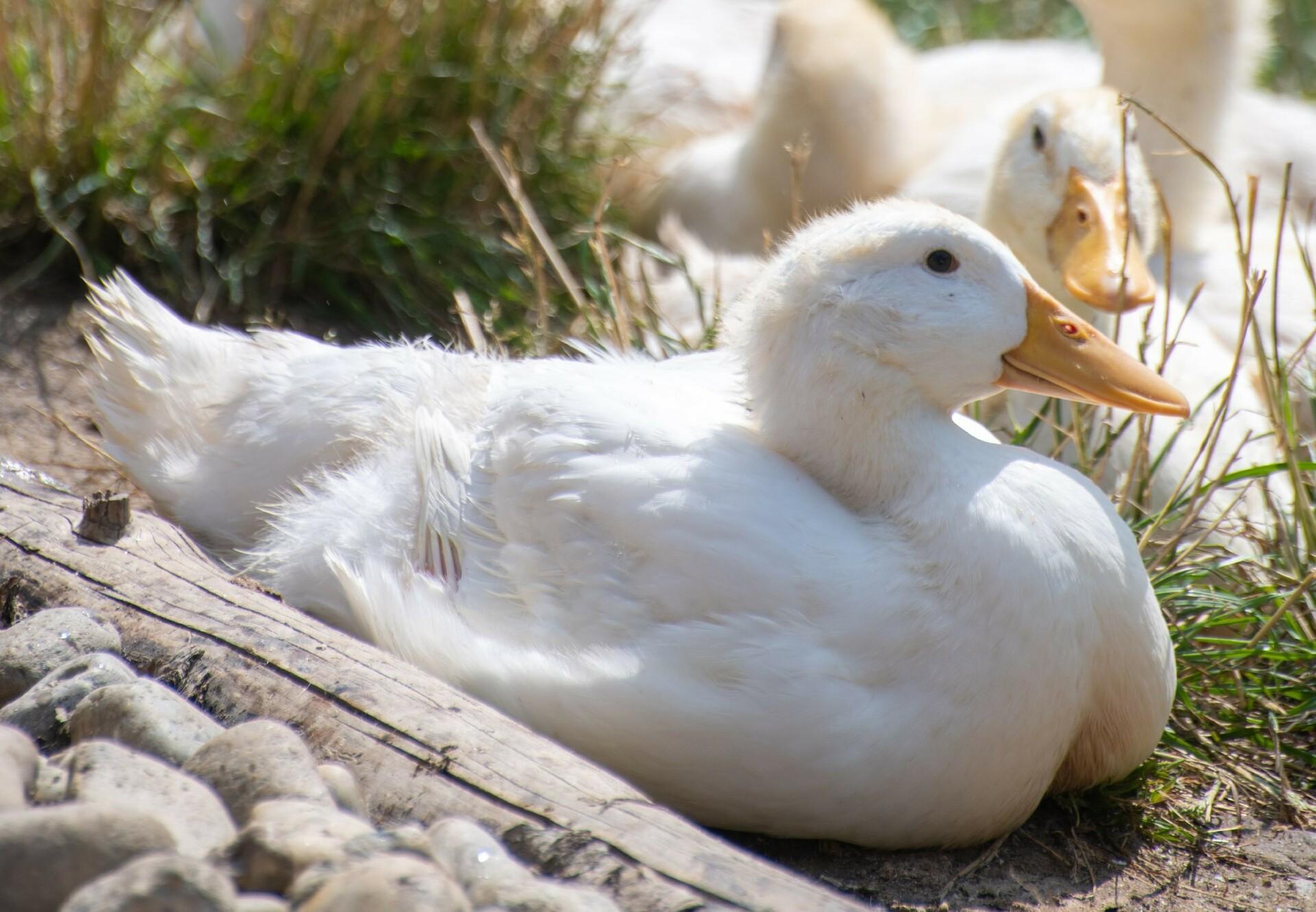 Enten entspannen gemeinsam