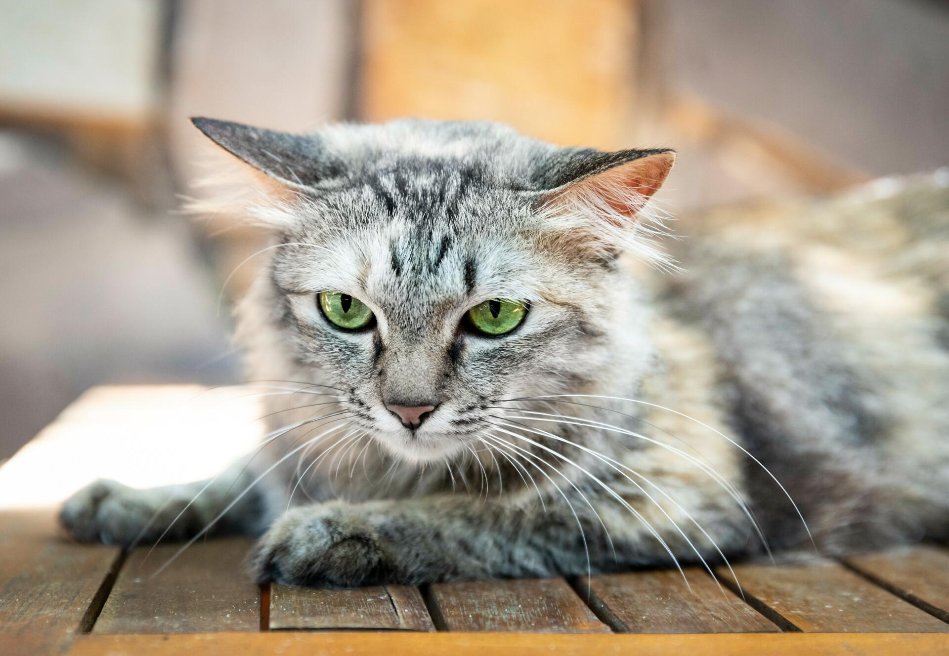 Слепа котка