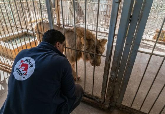 Vet Amir observers starving lion in cage