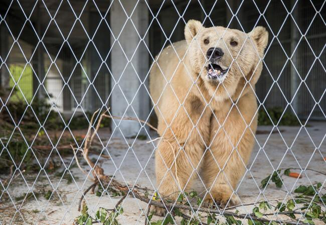 L'ours Napa à Arosa Terre des Ours