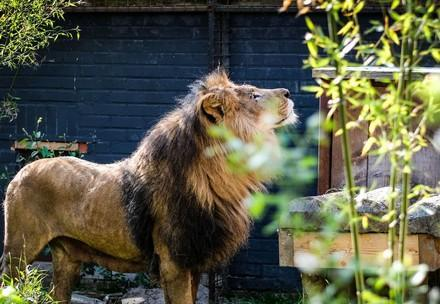 Lion at FELIDA Big Cat Sanctuary