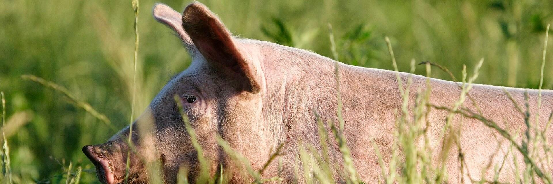 Schwein im hohen Gras
