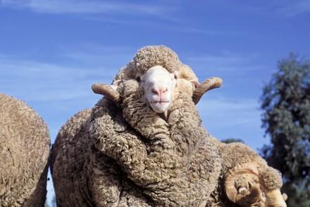 Schaap met veel wol