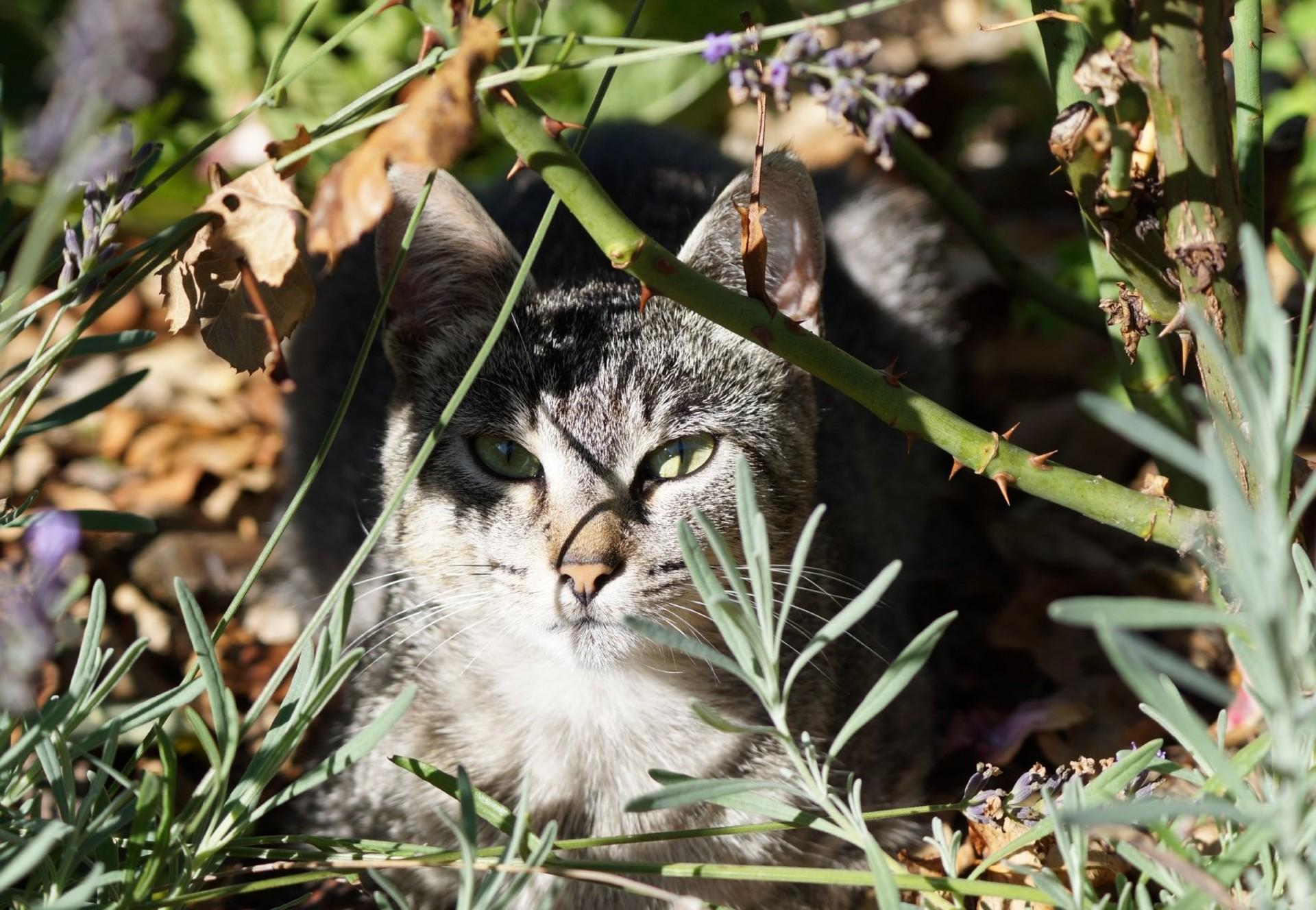 Getigerte Streunerkatze im Gebüsch