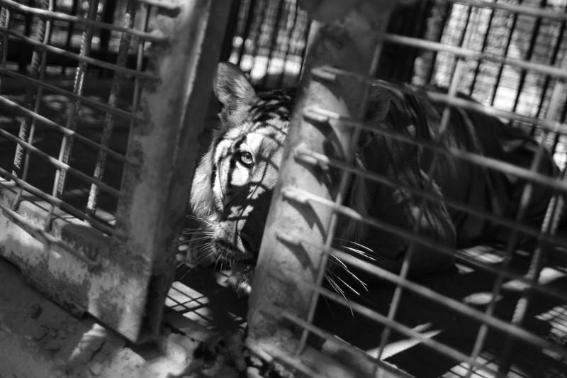 Tiger im winzigen Käfig