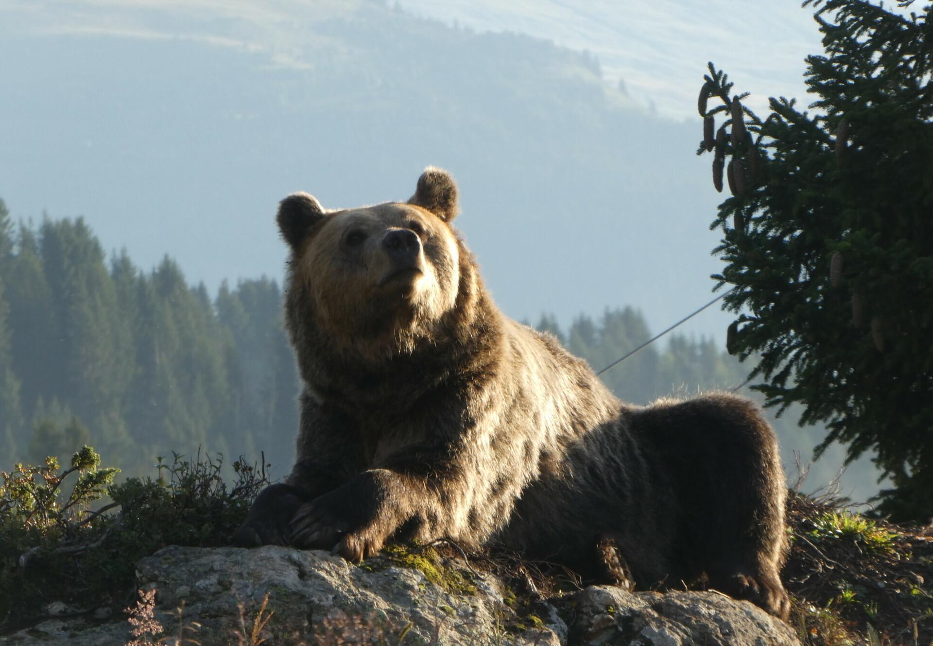 Bear at Bear Sanctuary Arosa