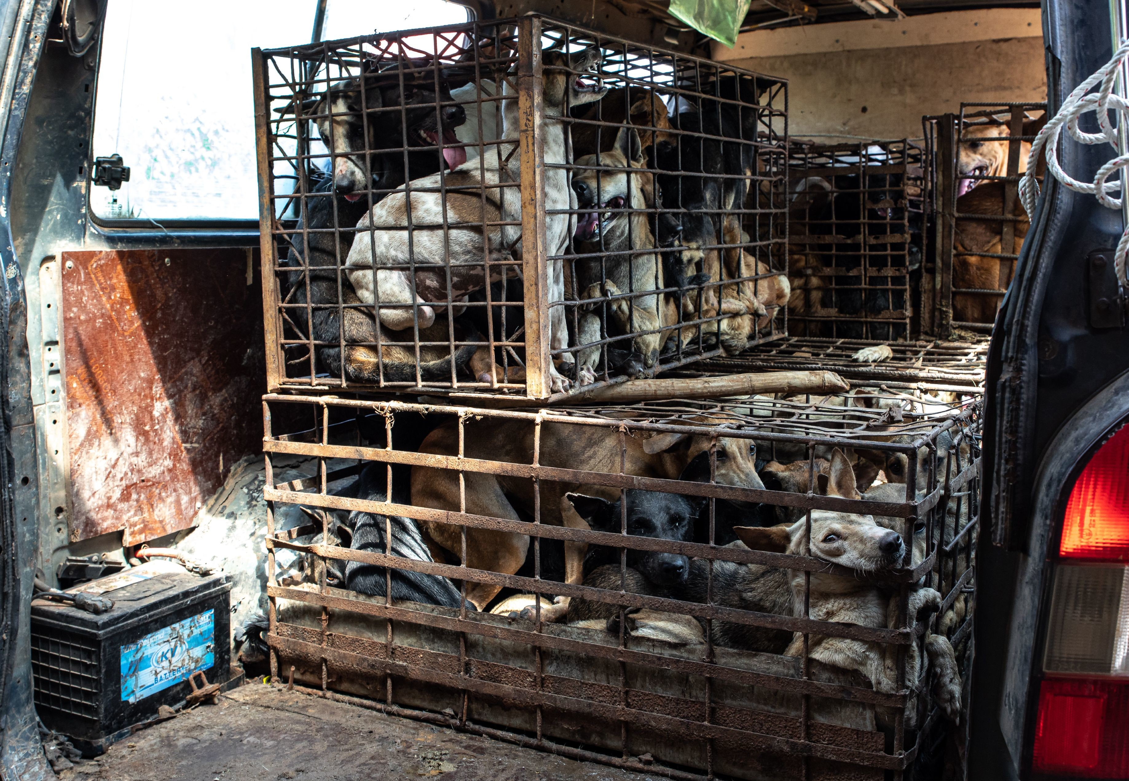 Dogs crammed into cages for dog meat