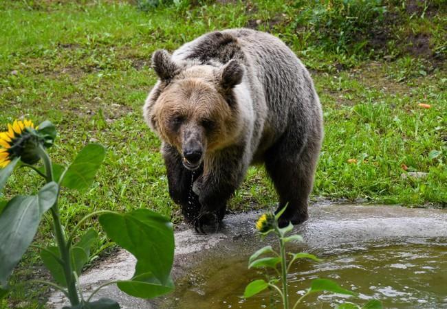 Bear Dushi at her new enclosure