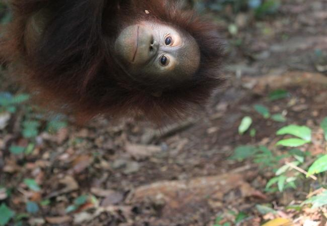 Orangutan Damai exploring the forest