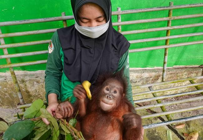 Orangutan Damai after rescue
