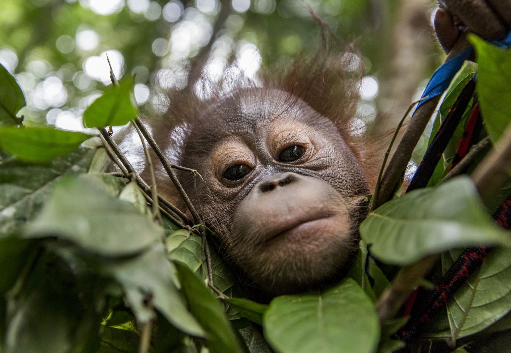 Orang-Utan Waisenkind auf Borneo.