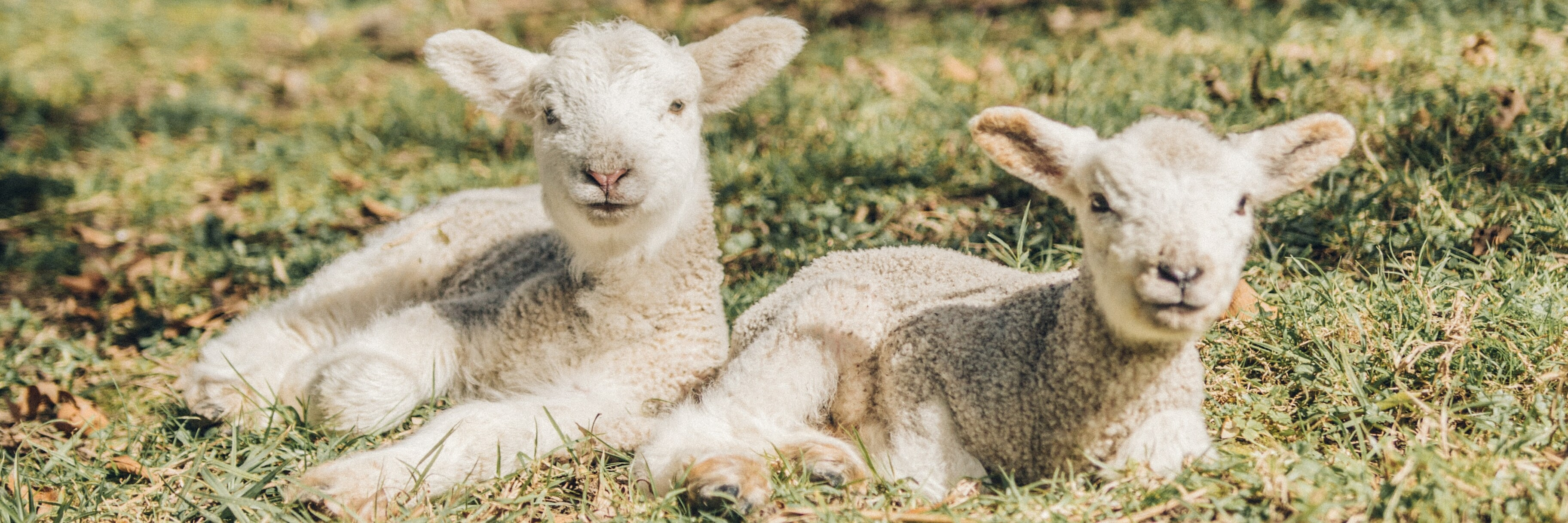 Two lambs staring at the camera