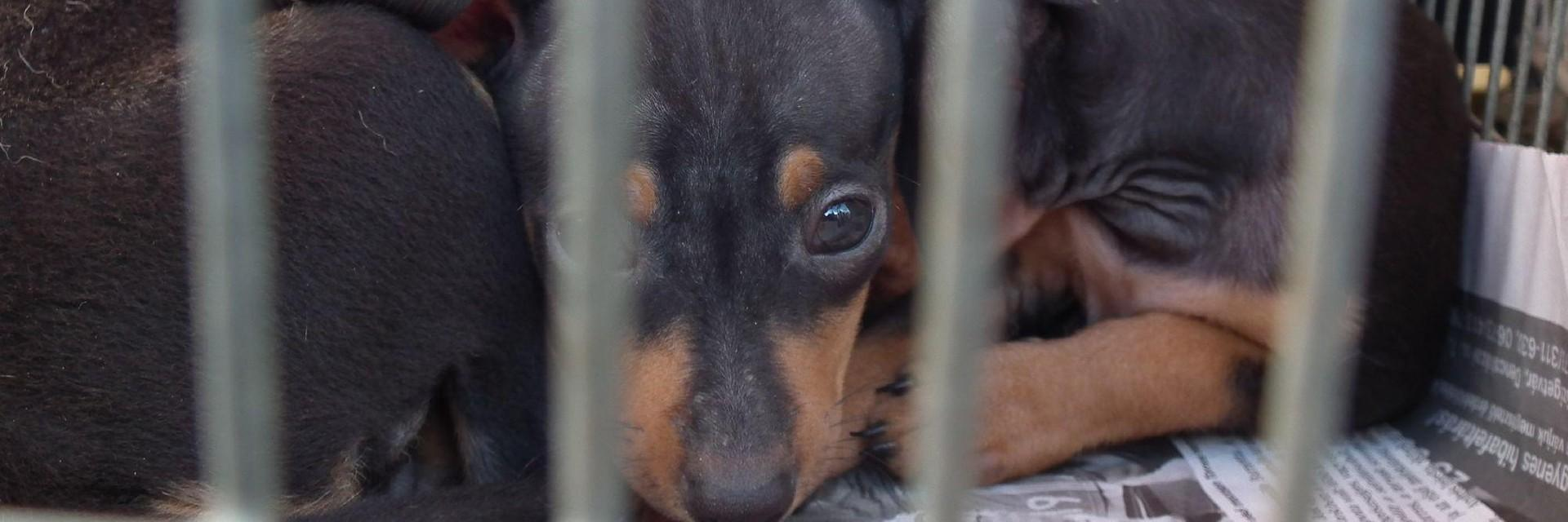 The illegeal puppy trade