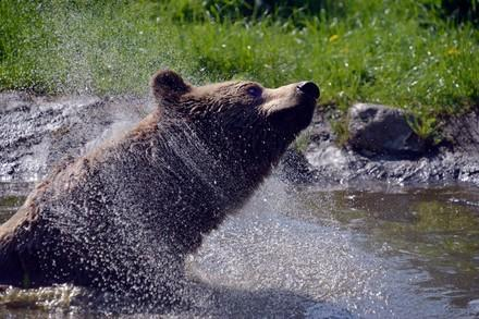 Brown bear in pond