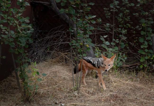 A jackal in its enclosure