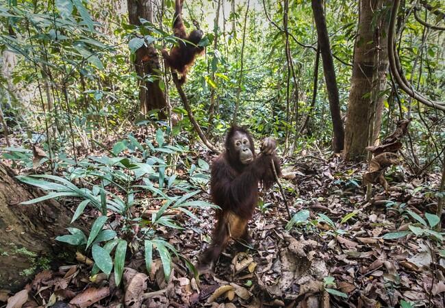 Orangutan Eska plying in the forest