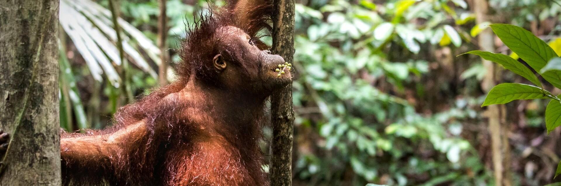 Orphan orangutan