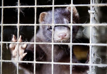 Mink in a fur farm
