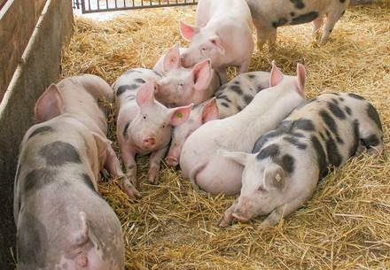 Schwein auf Hütthaler KG Hof