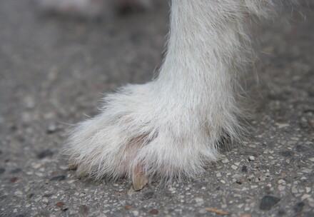 L'asphalte chaud - danger pour les pattes de chiens