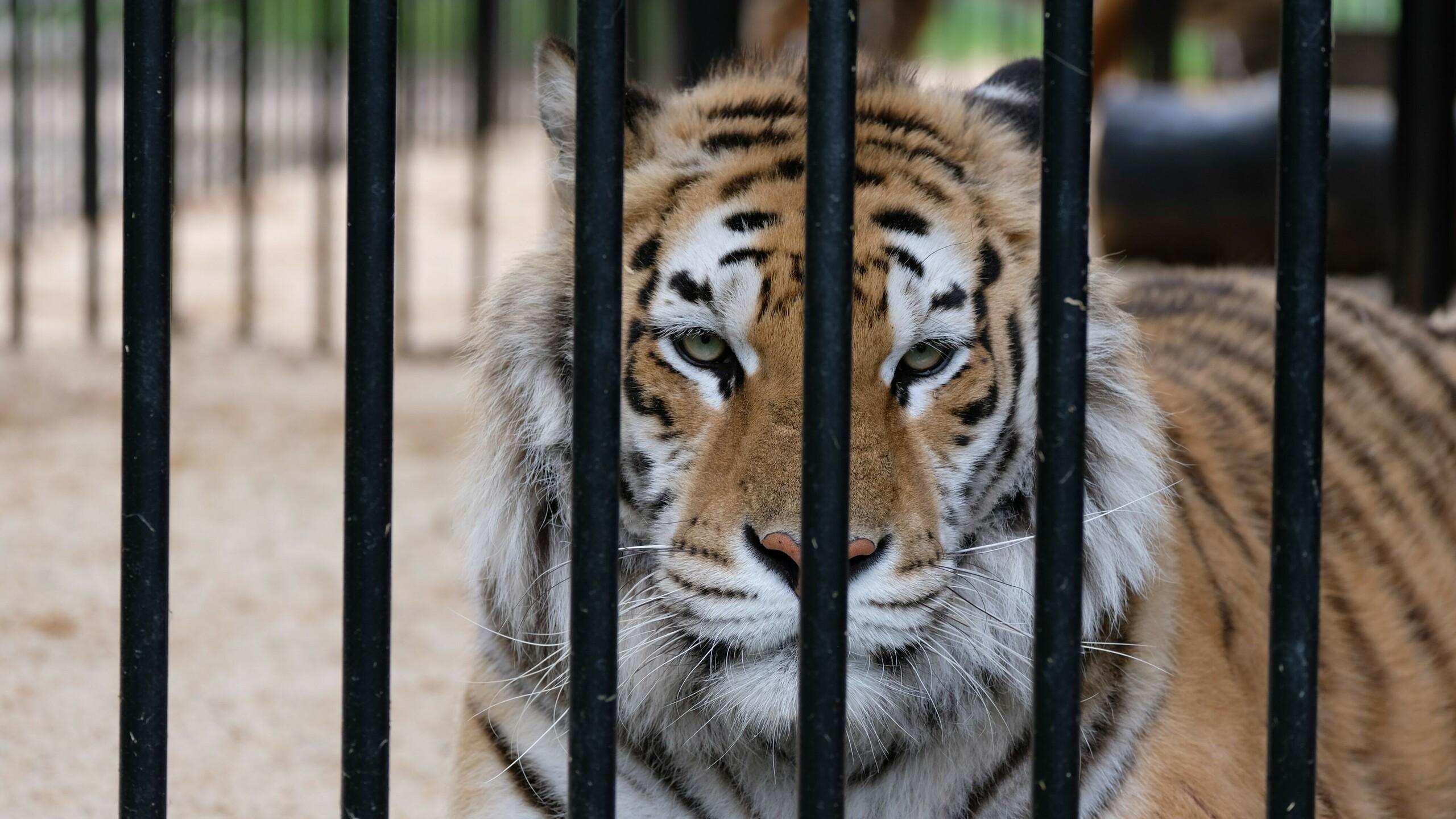 Tiger hinter Gitterstäben