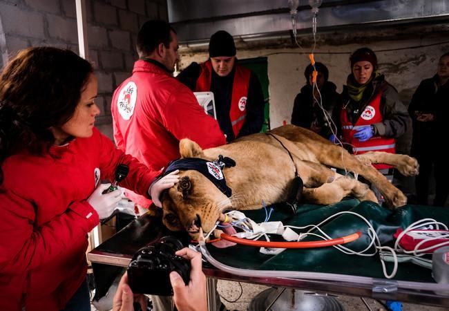 VIER PFOTEN leistet dringend notwendige medizinische Hilfe für Löwen aus Zoo von Razgrad in Bulgarien