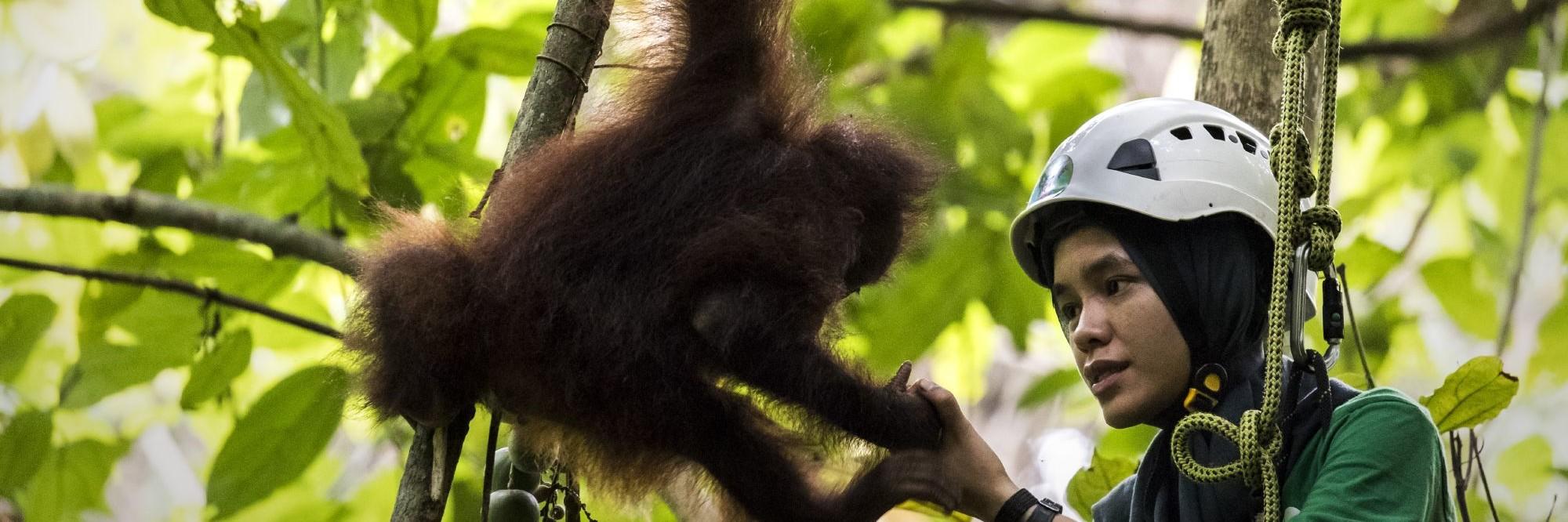 Orangutan climbing lessons with caretaker