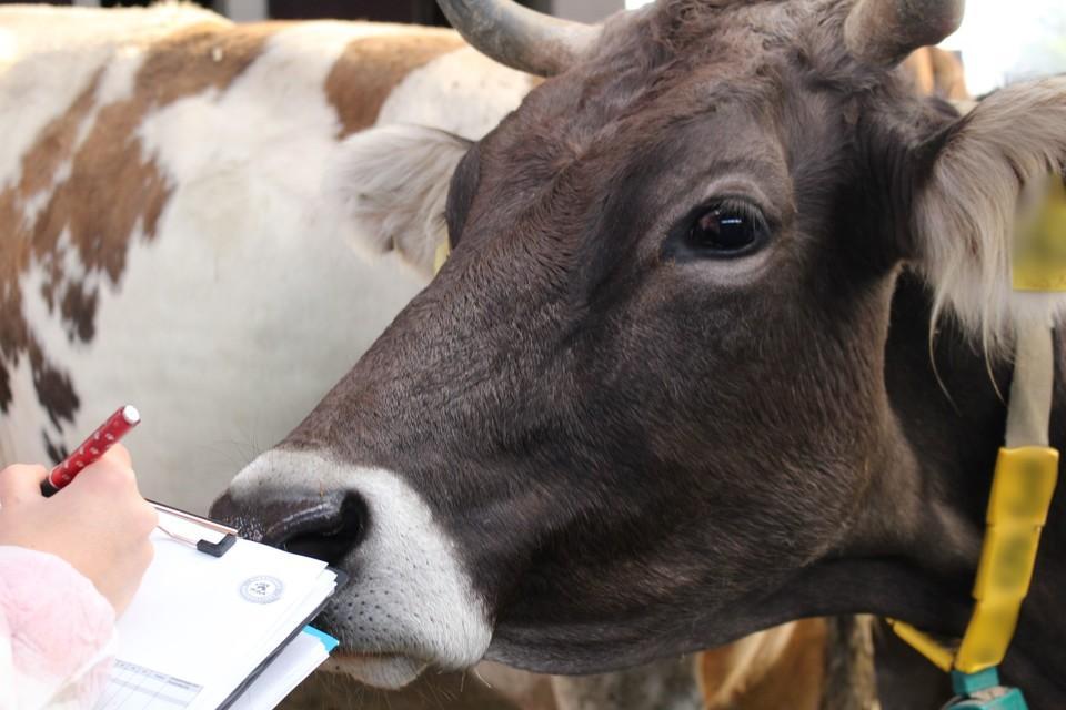 Ein Rind im Stall. Davor jemand der eineCheckliste ausfüllt.