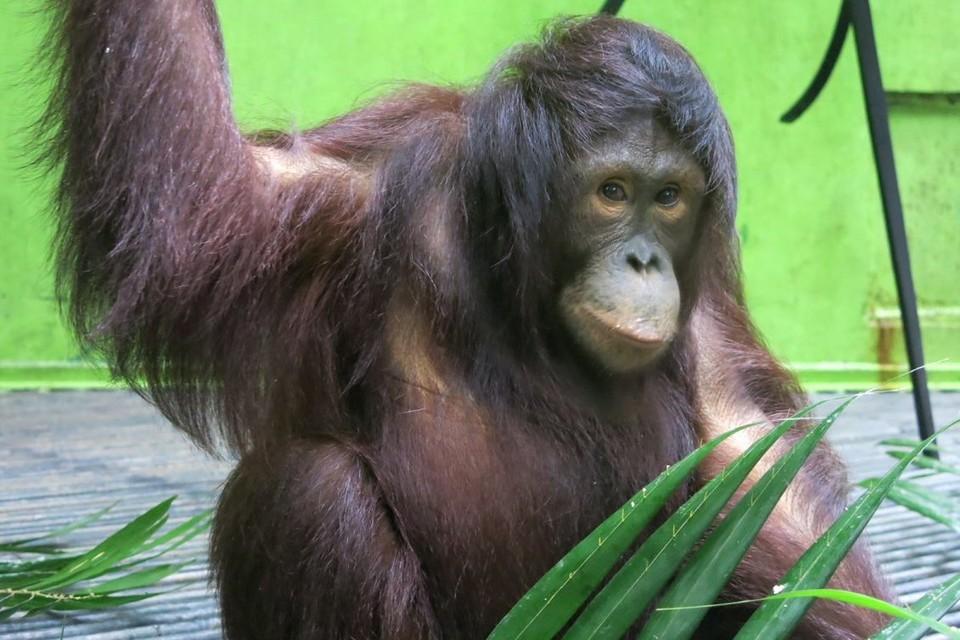Orang-Utan Amalia in der WALDSCHULE