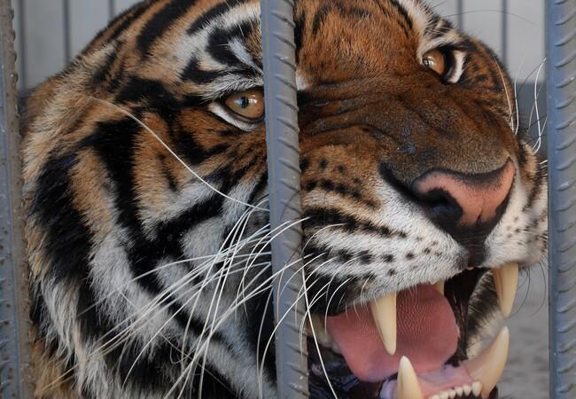 Un lion en cage