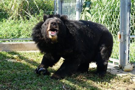 Bear Long in Ninh Binh