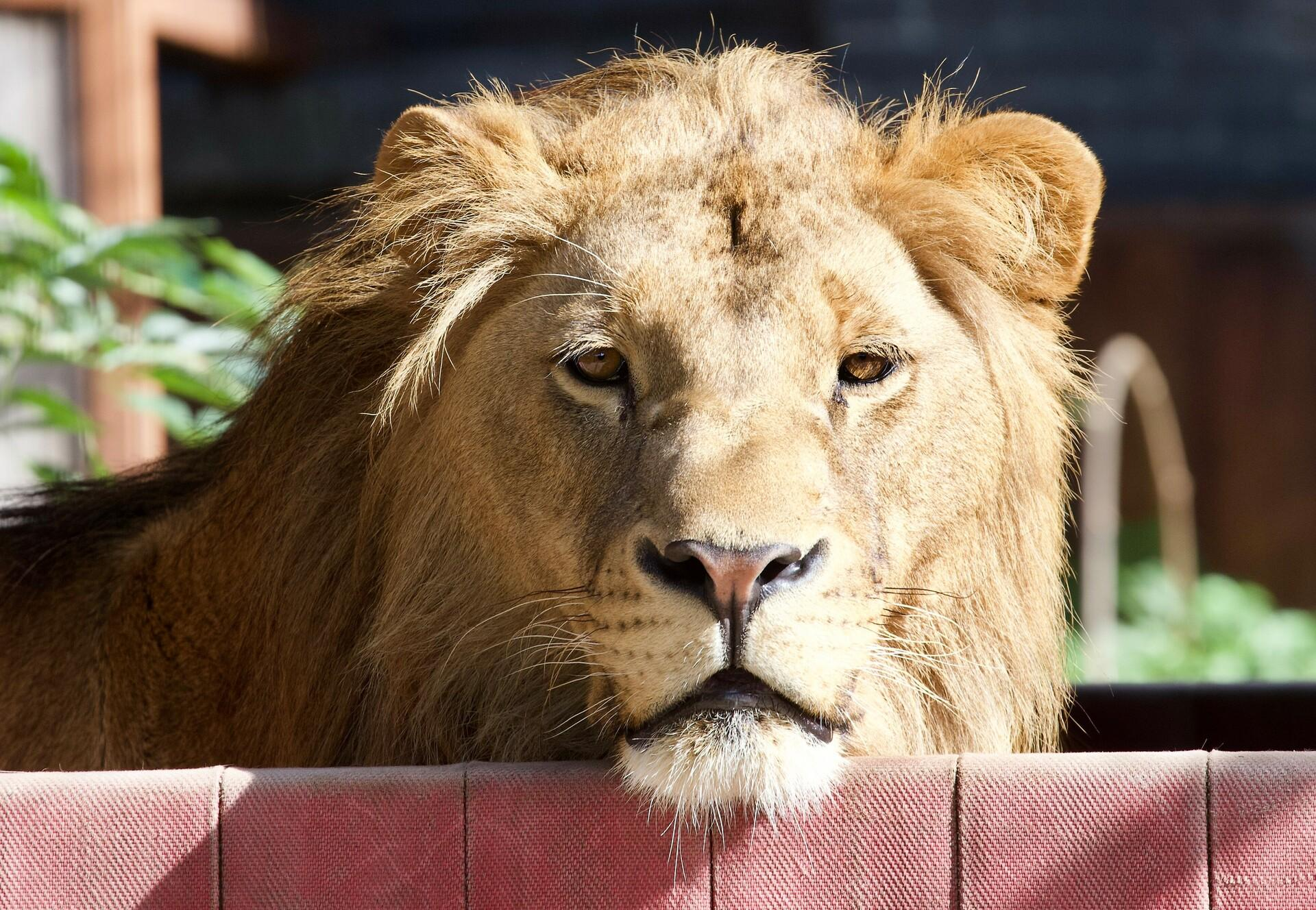 Leeuw Terez in zijn hangmat