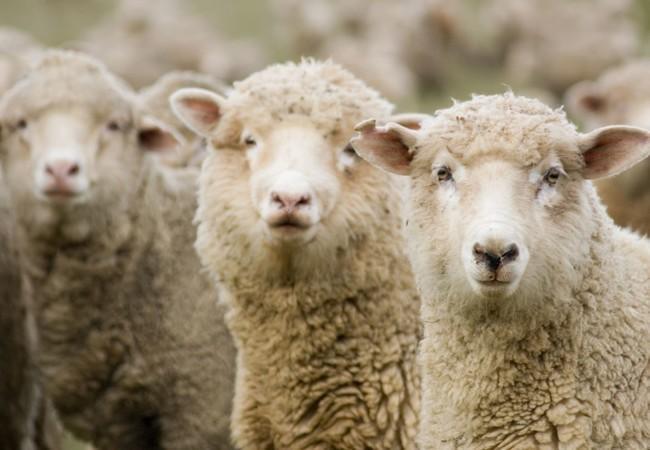 Row of Australian merino sheep looking at camera