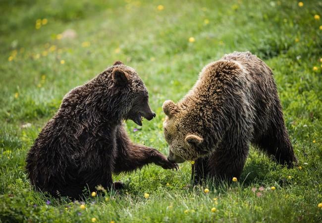 Bärin Jambolina vergesellschaftet sich zum ersten Mal mit Bär Meimo
