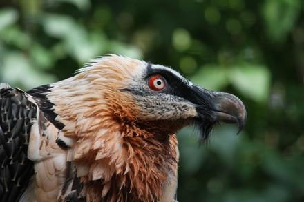 Bearded vulture in Haringsee