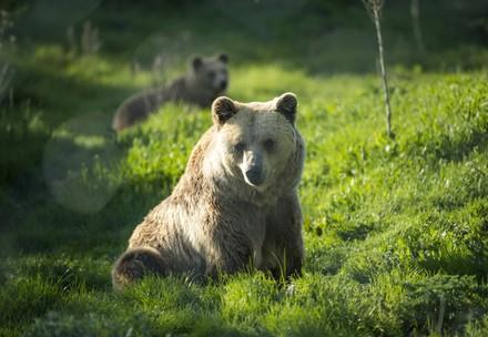 Rescued brown bear