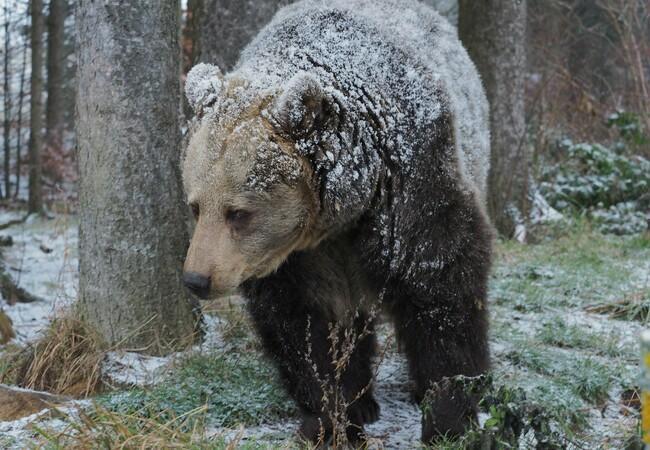 Braunbärin Brumca im Wald, auf ihrem Fell ist Schnee, auch der Boden ist leicht mit Schnee bedeckt