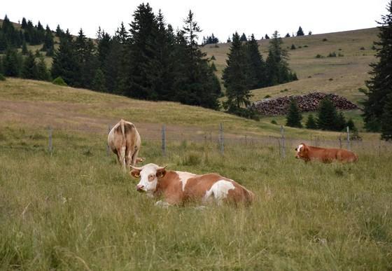 ALMO Rinder auf der Weide