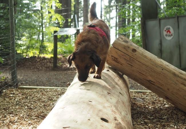 Hund sucht auf Holzstamm mit Löchern Leckerlis