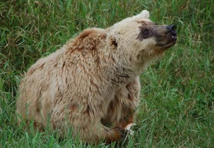 Brown bear Lady M.