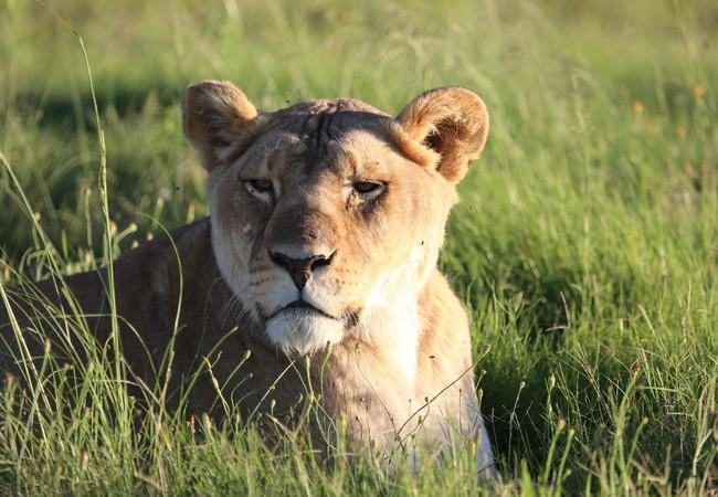 Lioness Neida lying in the grass