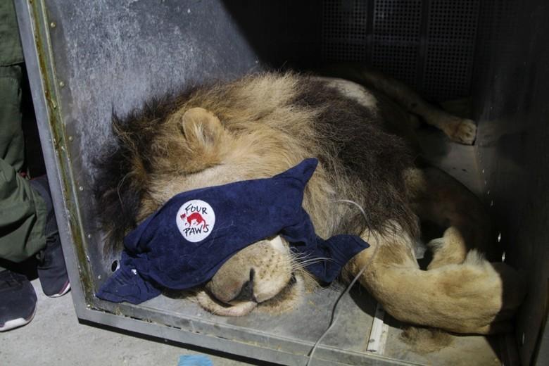 Rettung von Löwe Zhaku aus Zoo in Fier (c) VIER PFOTEN