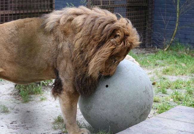 Lion Lenci playing with enrichment