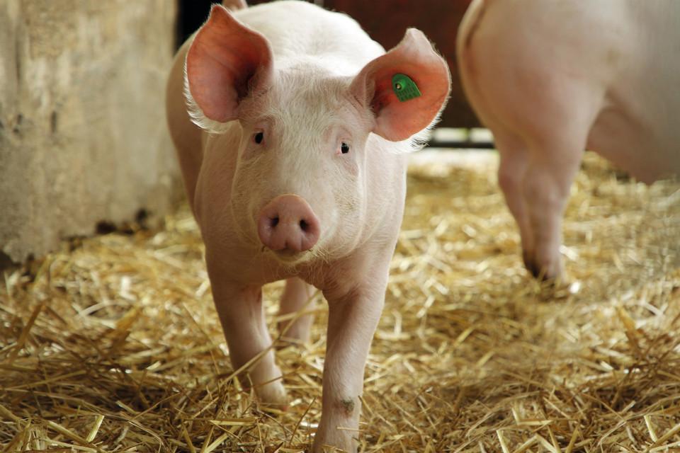 Schwein läuft im Stall auf die Kamera zu