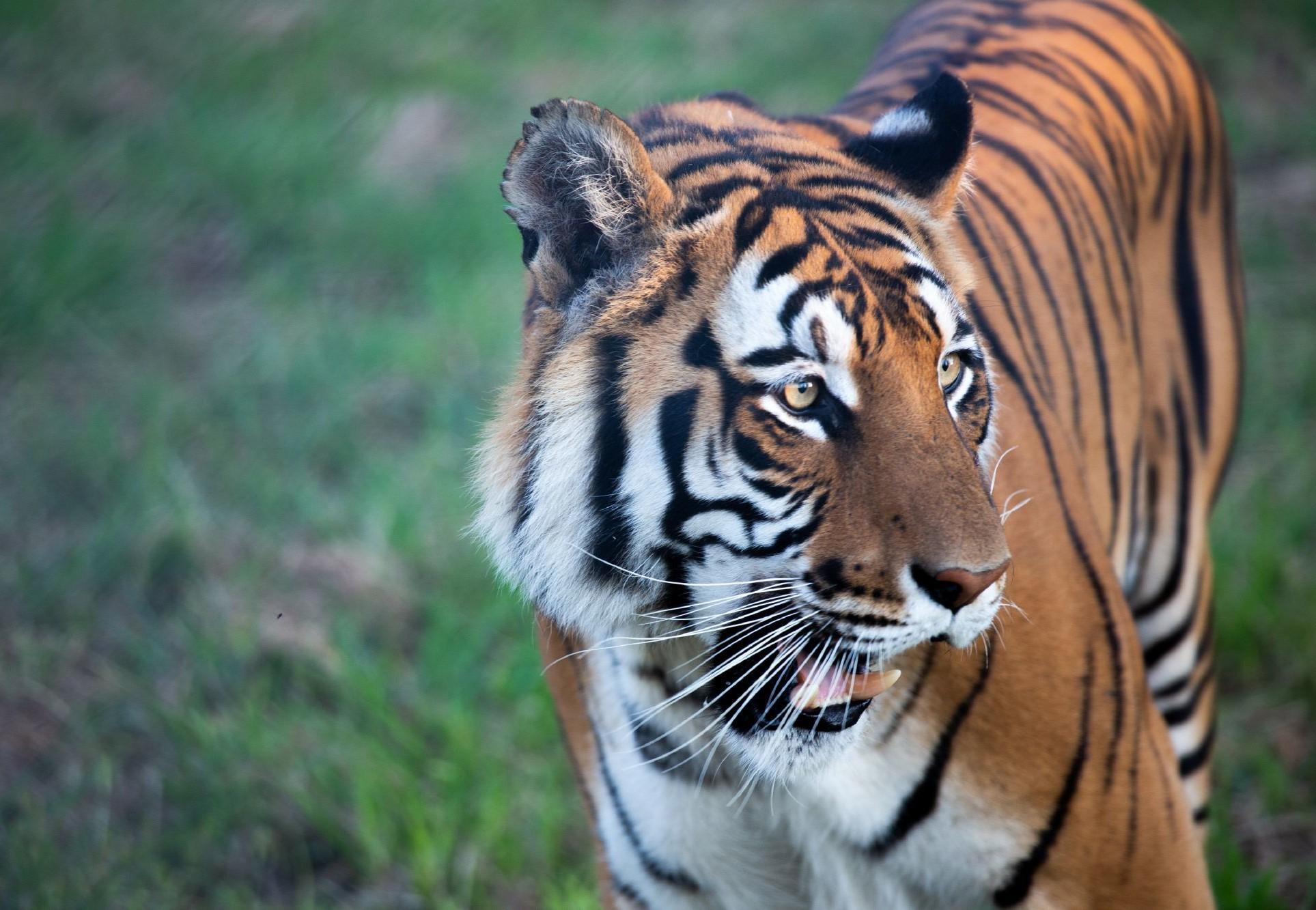 un tigre du Bengal sauvé par QUATRE PATTES